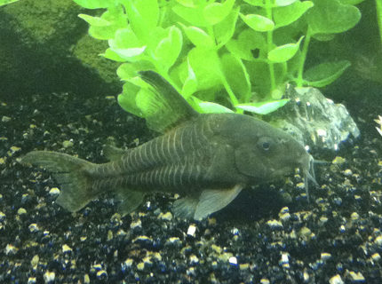 freshwater fish - corydoras paleatus - peppered cory cat stocking in 40 gallons tank - Peppered Corydora
