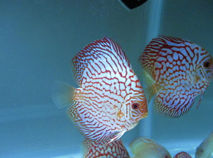 Rated #2: Freshwater Fish Stocking In 50 Gallons Tank - here is my flora pigeon discus that I bought from Na discus
