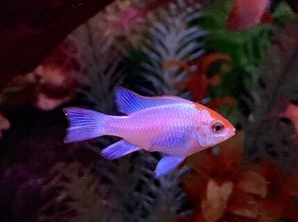 freshwater fish stocking in 125 gallons tank - My neon electric blue ram