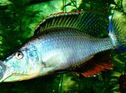freshwater fish - dimidiochromis compressiceps - compressiceps cichlid stocking in 60 gallons tank - D.compressiceps 7""