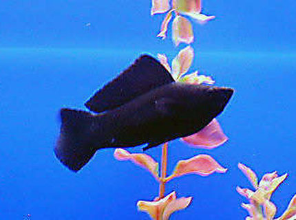 freshwater fish - poecilia latipinna - black sailfin molly stocking in 50 gallons tank - male black mollie