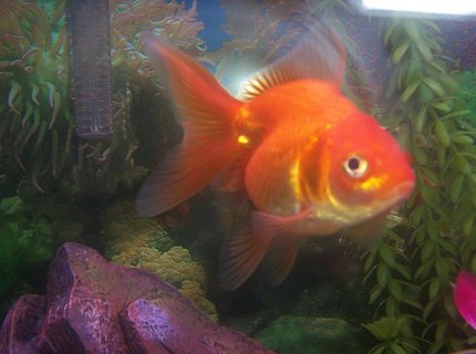 freshwater fish - carassius auratus - fantail goldfish stocking in 20 gallons tank - WE CALL HIM  FATTY,  HE'S  ONE AND A HALF YEARS OLD.