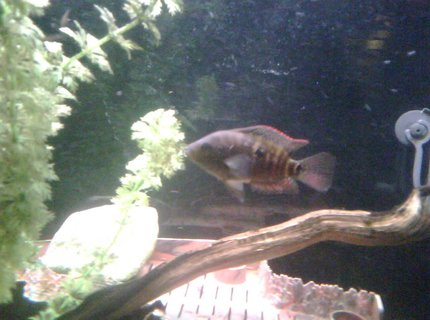 freshwater fish - thorichthys meeki - firemouth cichlid stocking in 65 gallons tank - Young Jack.