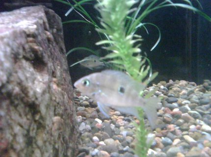 freshwater fish - thorichthys meeki - firemouth cichlid stocking in 65 gallons tank - Young Firemouth