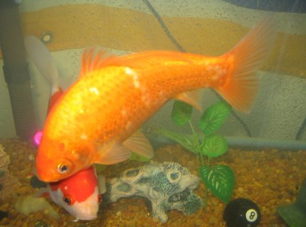 freshwater fish - carassius auratus - goldfish stocking in 55 gallons tank - once , now 7 inches around!!!