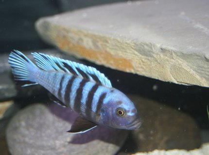 freshwater fish - cynotilapia afra - afra cichlid stocking in 55 gallons tank - zebra mbuna