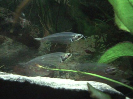 freshwater fish - kryptopterus bicirrhis - ghost glass cat stocking in 55 gallons tank - Glass Catfish