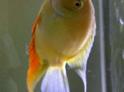 freshwater fish - heros serverus - gold severum stocking in 72 gallons tank - Friendly 6inch Gold Severum. He was the size of a quarter when I got him. He eats everything and likes to watch TV when I have it on.