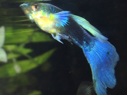 freshwater fish stocking in 30 gallons tank - Blue tuxedo guppy