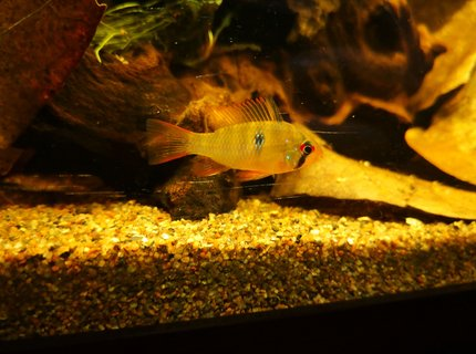 freshwater fish stocking in 47 gallons tank - Mikrogeophagus ramirezi, after 3.5 weeks, still coloring out