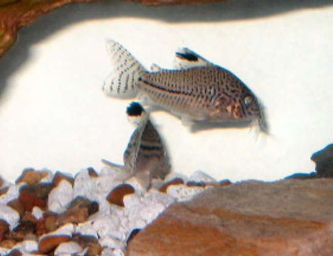 freshwater fish - corydoras trilineatus - leopard cory catfish stocking in 18 gallons tank - Leopard Cory Catfish (Corydoras Trilineatus)