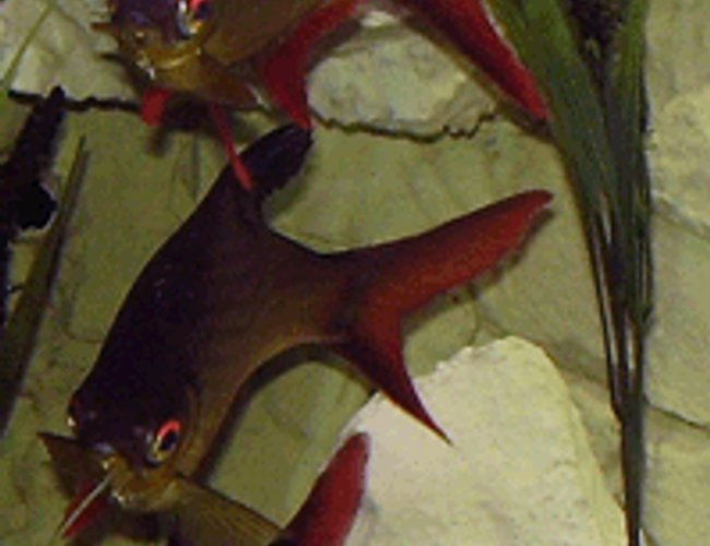 freshwater fish - barbus schwanefeldi - tinfoil red tail barb stocking in 265 gallons tank - Tinfoil Barb Ballet