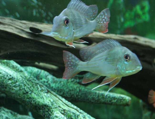 freshwater fish - gymnogeophagus surinamensis - surinamen geophagus stocking in 53 gallons tank - Geophagus