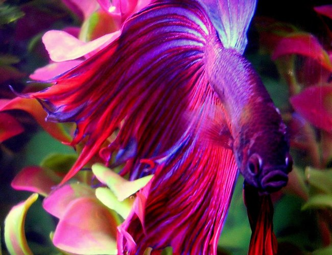 "freshwater fish - betta splendens - crown tail betta stocking in 10 gallons tank - This is Finley, my beautiful 2.5"" Crowntail Male Betta.  He's very friendly and active.  Little guy is always  swimming and showing off.