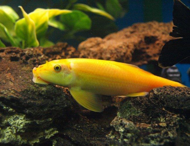 Gold Algae Eater Gyrinocheilos Aymonieri Photos