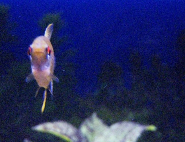 freshwater fish - hyphessobrycon pulchripinnis - lemon tetra stocking in 29 gallons tank - Lemon Tetra posing for a picture.