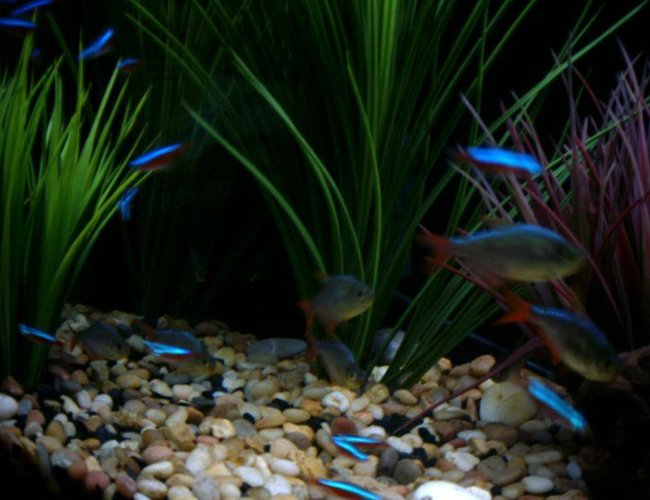 freshwater fish - hyphessobrycon colimbianus - red/blue columbian tetra stocking in 55 gallons tank - Columbian Tetras and Cardinal Tetras