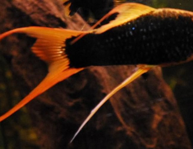 "freshwater fish - xiphophorus helleri stocking in 55 gallons tank - 3"" Black/Blue Marigold Swordtail"