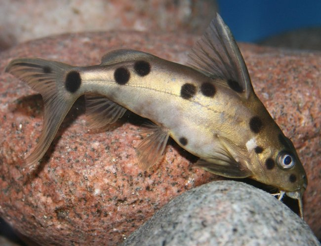freshwater fish - synodontis petricola - pygmy leopard catfish stocking in 150 gallons tank - Synodontis