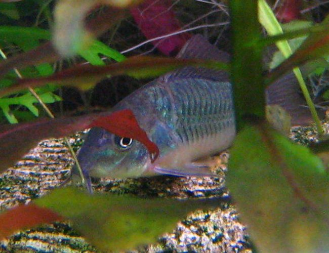freshwater fish - brochis splendens - emerald green cory cat stocking in 32767 gallons tank - a Brochis splendens^^