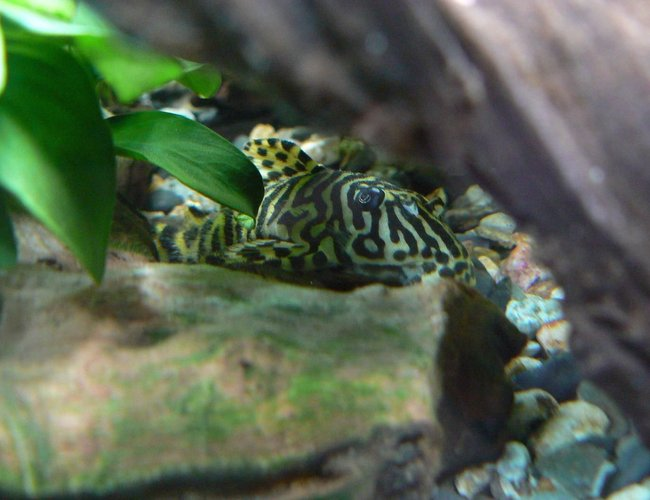freshwater fish - peckoltia sp. - leopard frog pleco (l134) stocking in 55 gallons tank - my pleco L 134