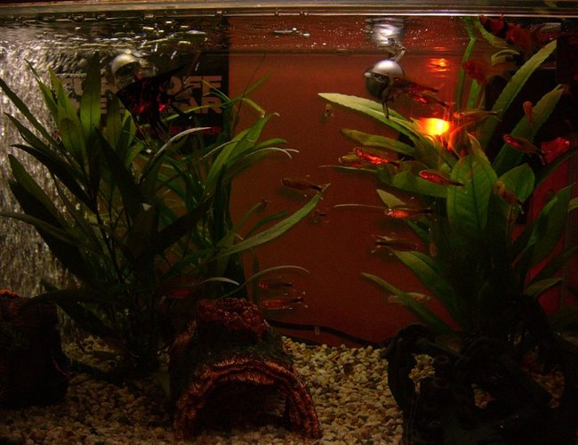 freshwater fish - hasemania nana - silver tip tetra stocking in 57 gallons tank - new tank and fish in dark