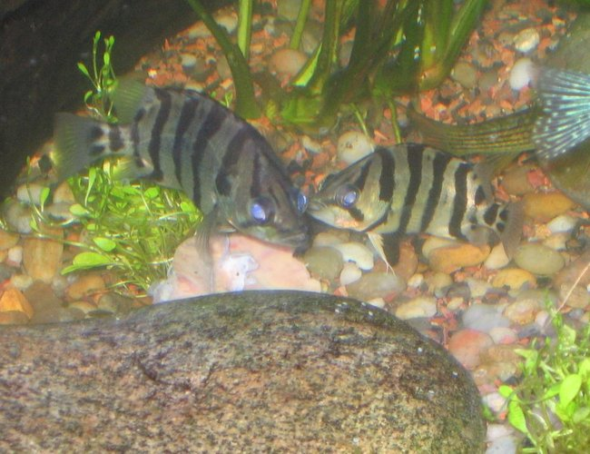 freshwater fish - datnoides undecimradiatus - datnoid stocking in 125 gallons tank - datnoid