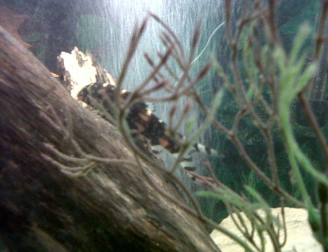 freshwater fish - acanthocobilitis botia - leopard loach stocking in 75 gallons tank - Leopard Loach Fish