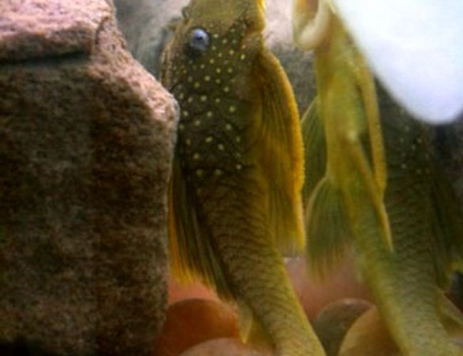 freshwater fish - ancistrinae sp. - lemon spotted green pleco (l200) stocking in 60 gallons tank - L200 lemon spotted pleco