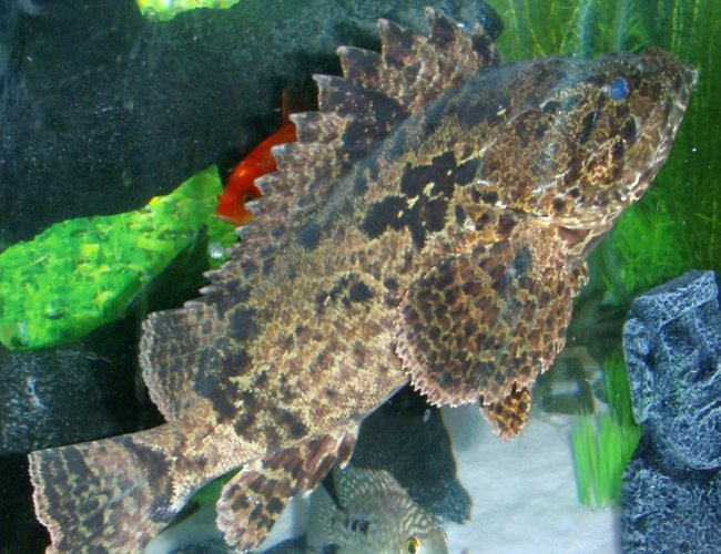 "freshwater fish - notesthes robusta - bullrout stonefish stocking in 400 gallons tank - ""Karn"" My Bullrout Stonefish (poisonous)"