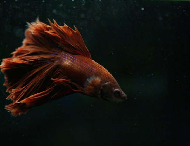 freshwater fish - betta splendens - crown tail betta stocking in 90 gallons tank - Crowntail Betta