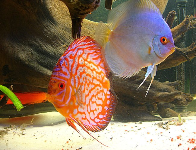 freshwater fish - symphysodon sp. - blue diamond discus stocking in 55 gallons tank - the king and queen of my tank.
