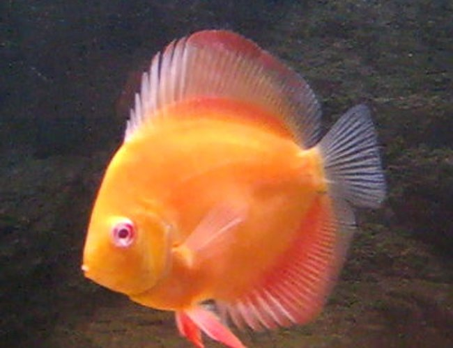 freshwater fish - symphysodon sp. - red marlboro discus stocking in 80 gallons tank