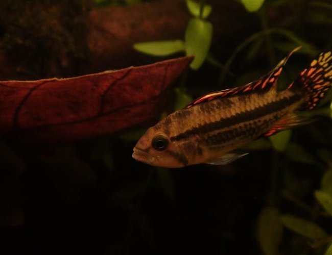 freshwater fish - apistogramma sp. - assorted apistogramma stocking in 29 gallons tank - rocky