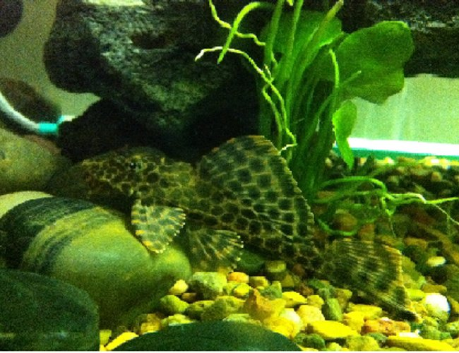 "freshwater fish - hypostomus plecostomus - common pleco stocking in 52 gallons tank - my common pleco at 4"" and its name is Dino :)"