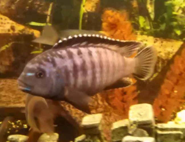 freshwater fish - pseudotropheus tropheops - red cheek stocking in 66 gallons tank - PSEUDOTROPHRUS TROPHEOP