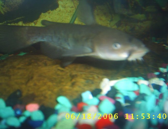 freshwater fish - corydoras aldolfoi - adolfoi cory cat stocking in 60 gallons tank - one of my bull head cat fishes