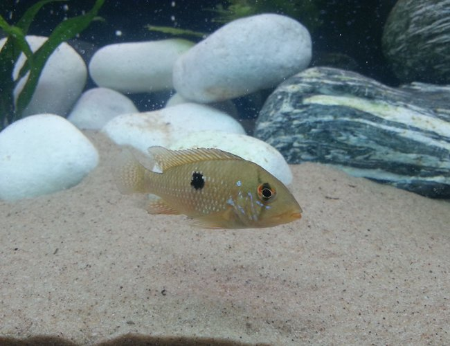 freshwater fish - geophagus brasiliensis - pearl cichlid stocking in 40 gallons tank - Pearl cichlid