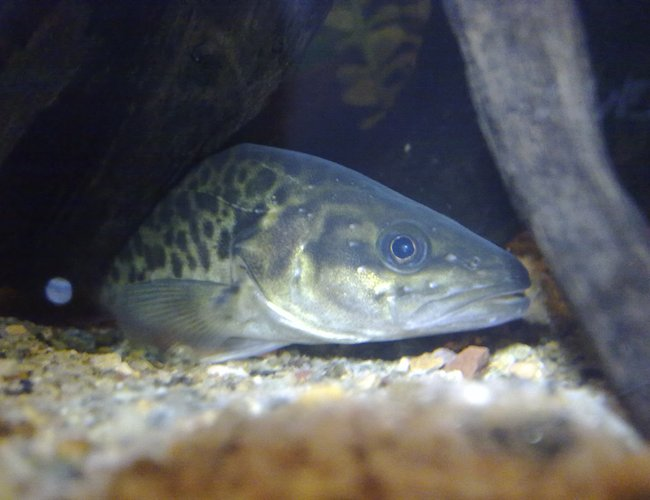 freshwater fish - maccullochella peelii - murray cod stocking in 90 gallons tank - My Champion Murray Cod