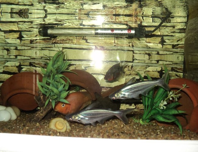 freshwater fish - pangasius hypophthalmus - iridescent shark stocking in 75 gallons tank - My Iridescent Shark Catfishes,