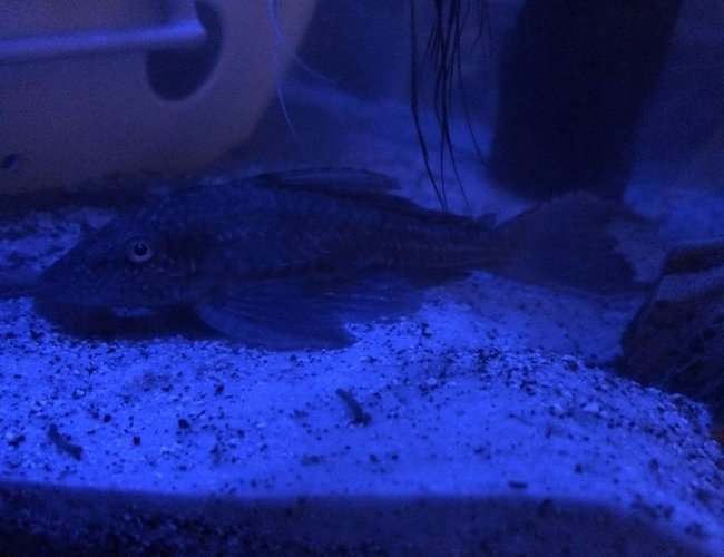 freshwater fish - hypostomus plecostomus - common pleco stocking in 75 gallons tank - Common Pleco under night light.
