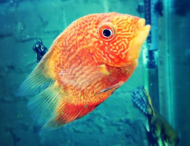 freshwater fish - heros efasciatus - red spot severum stocking in 100 gallons tank - Red spot severum.