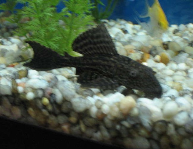 freshwater fish - hypostomus plecostomus - common pleco stocking in 55 gallons tank - Here is my common pleco in my 55g