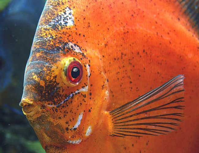 freshwater fish - symphysodon sp. - red marlboro discus stocking in 180 gallons tank - My Big Old Marlboro like to sit for pictures