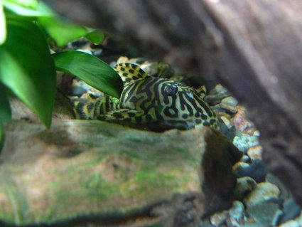 Rated #41: Freshwater Fish - Peckoltia Sp. - Leopard Frog Pleco (l134) Stocking In 55 Gallons Tank - my pleco L 134