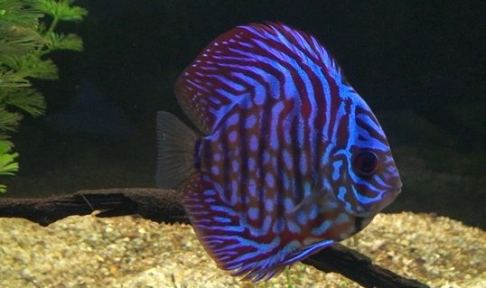 Rated #4: Freshwater Fish - Symphysodon Aequifasciata - Royal Blue Discus Stocking In 209 Gallons Tank
