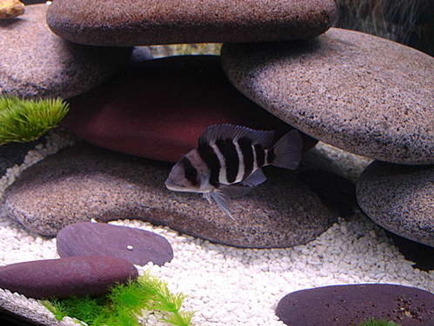 Rated #33: Freshwater Fish - Cyphotilapia Frontosa - Frontosa Cichlid Stocking In 72 Gallons Tank - frontosa