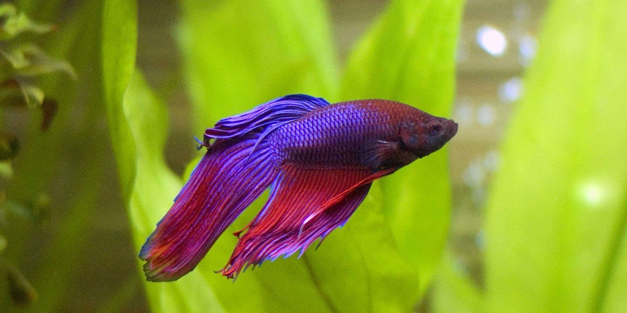 Rated #32: Freshwater Fish - Betta Splendens - Betta - Male Stocking In 29 Gallons Tank - My betta enjoying the freedom of a new, larger tank.