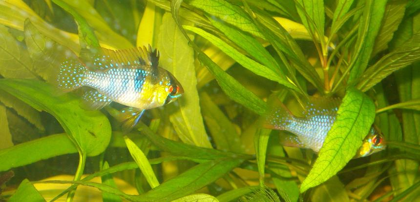 Rated #74: Freshwater Fish - Papiliochromis Ramirezi - German Blue Ram Stocking In 55 Gallons Tank - My German Blue Ram Pair Betty & Ernie!