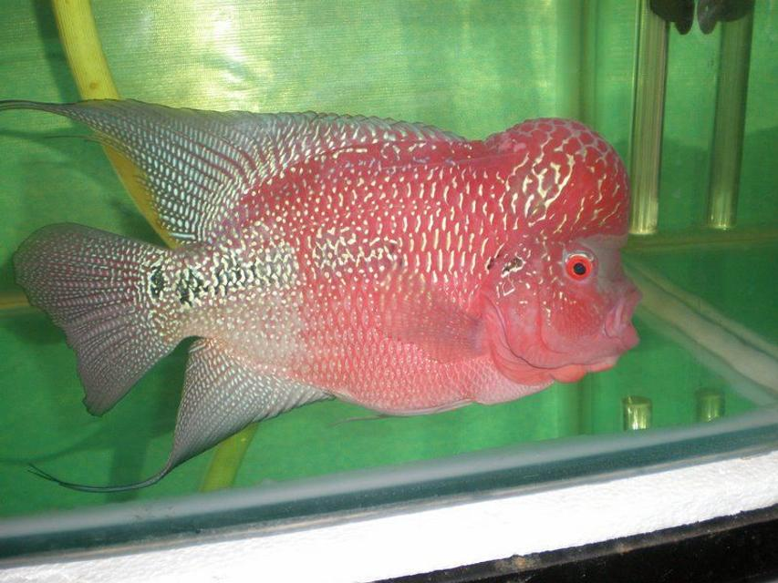 Rated #43: Freshwater Fish - Cichlasoma Sp. - Flower Horn Cichlid Stocking In 105 Gallons Tank - LATEST ONE